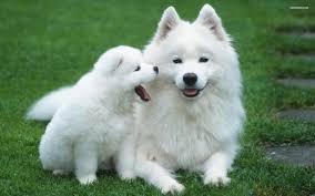 hd samo puppy wallpapers free