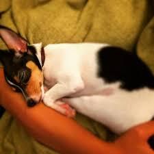 toy fox terrier puppies in