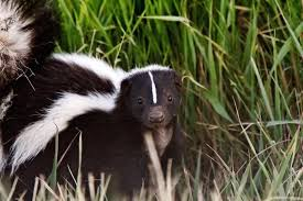 Skunk Prevention A Guide For San Diego Homeowners