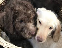 F1b Standard Labradoodle Puppies for Sale | Preston, Lancashire | Pets4Homes