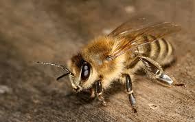 Imagini de fundal : albină, insectă, in dungi, antene, corp ...