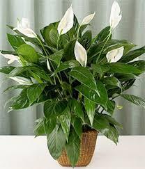 spathiphyllum varieties wallisii x