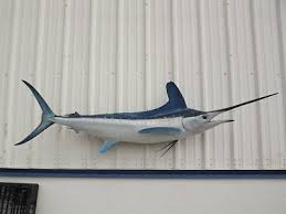 taxidermy marlin mount trainers4me