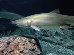 shark picture of national aquarium