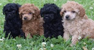 smart poodle puppies dogs puppies