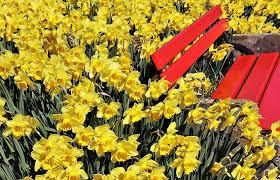 bank petals bench yellow daffodils