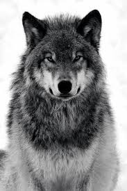 Pin by Duane Hayes on Nature | Wolf photography, Wolf images, Wolf dog