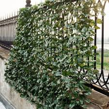 Pin On Ivy Plants