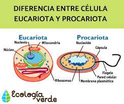 Diferencia entre CÉLULA EUCARIOTA y PROCARIOTA - Esquemas