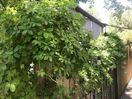 Does Anyone Know What This Vine Type Plant Is Growing Up And On Top Of Wooden Fence Doesn T Appear To Flower Low To Medium Sunlight Nashville Tn Thanks Whatsthisplant