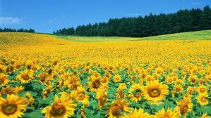 background wallpaper hd sunflower field