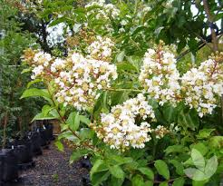 Lagerstroemia indica x fauriei 'Natchez' - Crepe Myrtle (White ...