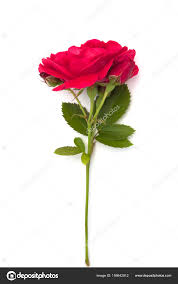 single red rose hd wallpaper single