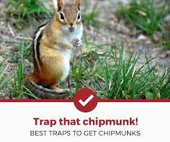 top 5 best chipmunk traps 2020