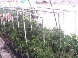 pvc pipe tomato cage gardening