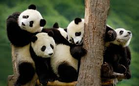 baby panda bear wallpaper 57 images