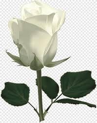 وردة بيضاء وردة بيضاء وردة بيضاء وردة ورقة جميلة Png Pngegg