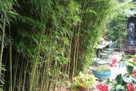 Nj Bamboo Landscaping Bamboo Plants And Privacy Hedges