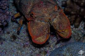 Blunt Slipper Lobster- Facts and ...