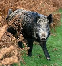 wild boars are taking over britain s