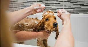 Dog getting a bath at home in a tub.