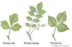 poison ivy oak and sumac