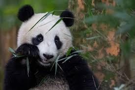 cute panda bear wallpaper wallpaperfool