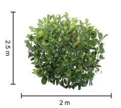 Dense Fence Viburnum Is A Dense Screening Hedge With Subtle Red New Growth Foliage Hardy Exotic Range