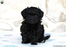 yorkie chon puppies