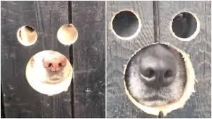 Labradors Look Hilarious Through Fence Holes Buzz Videos