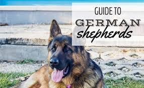 german shepherd is it a great family