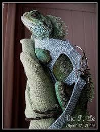 bearded dragon harness petsmart