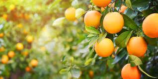 oranges health benefits risks