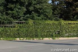 Metal Fence Covered By Green Plants Interunet