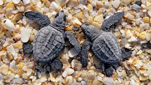 sea turtle wallpaper full hd pictures