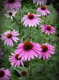 native plants wasco nursery