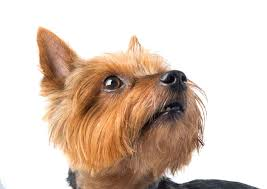 mini yorkshire terriers everything you
