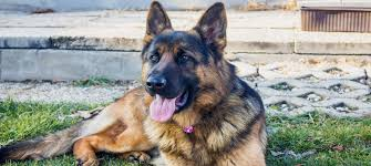 german shepherd breed guide pet circle
