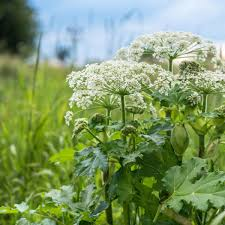 Giant hogweed a problem, but not here in Iowa | Ag News |  nonpareilonline.com