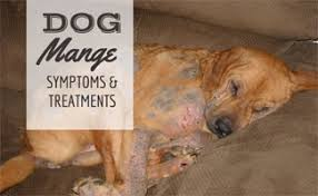 what does dog mange look like how to