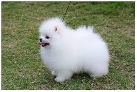 Pomeranian Puppies Pictures Photos Pics