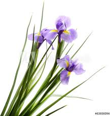 Beautiful Iris Flower Isolated On White Sticker Wall Decals Africa Studio