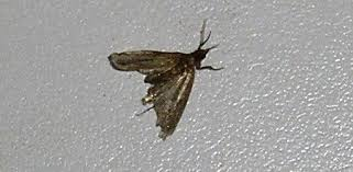 pantry moths and larvae in your kitchen