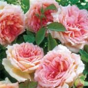 Rosa 'Janet' Rose English rose Auspishus David Austin rose Climbing rose  Care Plant Varieties & Pruning Advice