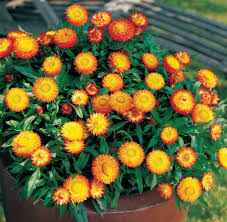 native plants for pots and containers
