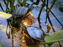 Build The Ultimate Turtle Pond Reptiles Magazine