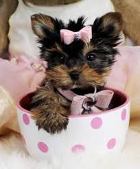 teacup yorkshire terrier puppies ready