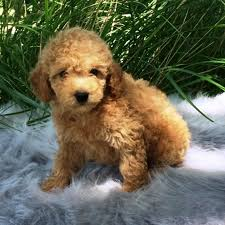 poodle puppies qld