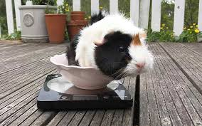 how much should a guinea pig weigh