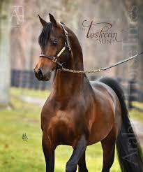 Horse Running Quarter Arabian Thoroughbred Equine Riding Window View Decal 7